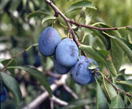 prune high in calcium
