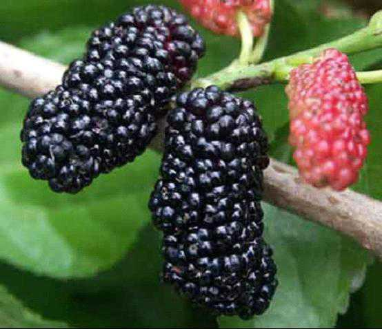 mulberry fruit high in calcium