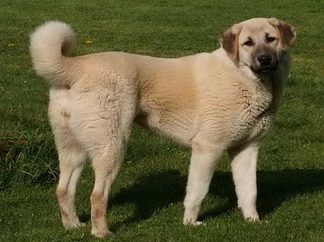 Anatolian Shepherd - Top 10 Largesst dog breeds