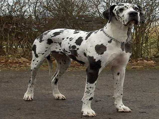 Great Dane - Top 10 Largest dog breeds