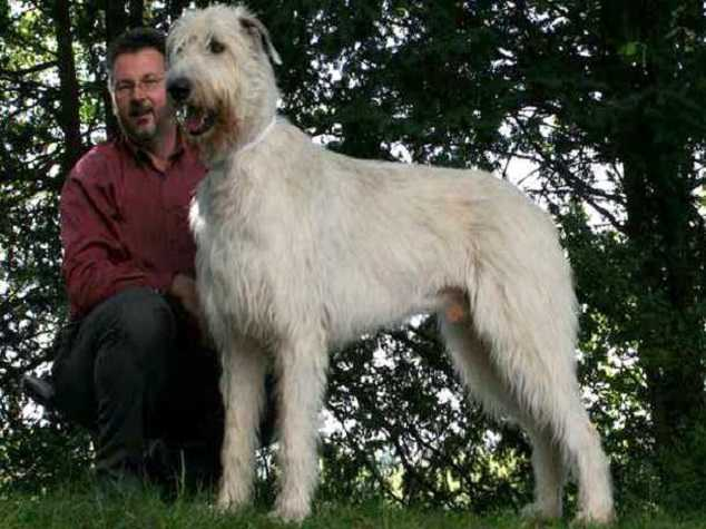 Irish Wolfhound - Top 10 Largest dog breeds