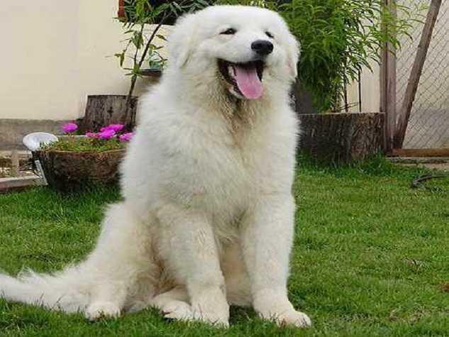 Kuvasz - Top 10 Largest dog breeds