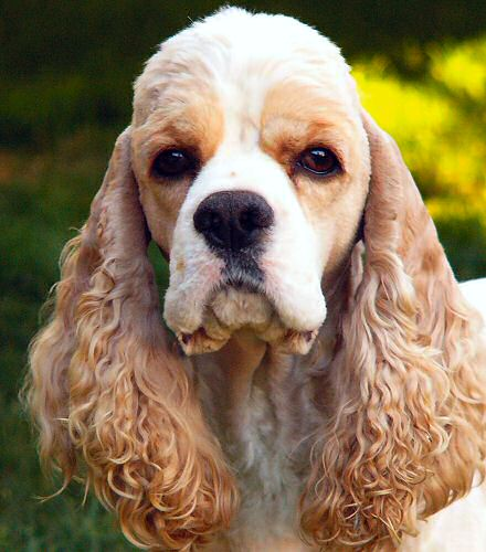 Breeds of Dogs that Bite- Cocker Spaniel