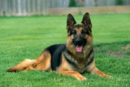 Breeds of Dogs that Bite- German Shepherd