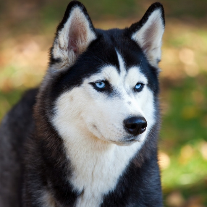 Breeds of Dogs that Bite- Husky