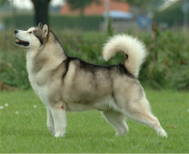 Breeds of Dogs that Bite- Malamute