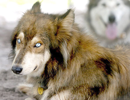 Breeds of Dogs that Bite- Wolf Dog Hybrid