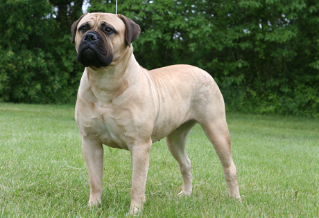 Breeds of Dogs that Bite- Bullmastiff