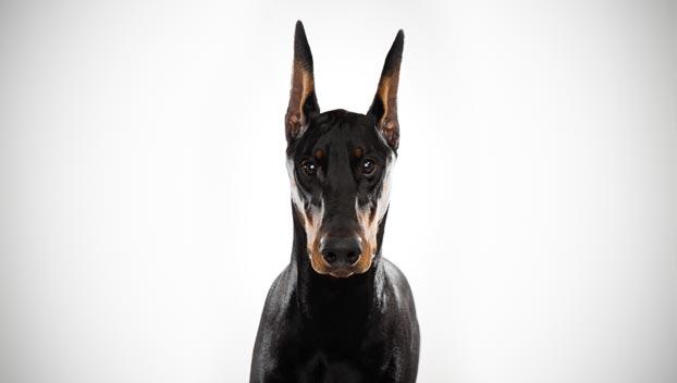 Breeds of Dogs that Bite- Doberman Pinscher
