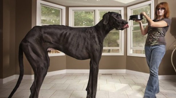 Breeds of Dogs that Bite- Great Dane